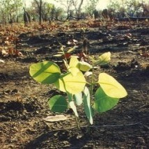 A new plant growing after a bushfire